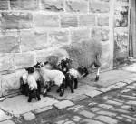 Rare 'Multiple Birth' For Local Ewe
